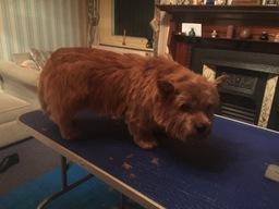 Freddie (Norwich Terrier) after hand stripping