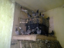 Pigeons infesting a business property in Stoke on Trent. Khitan Pest Control were called in