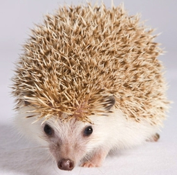 Blossom the African Hedgehog