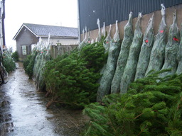 We sell lots of Christmas Trees