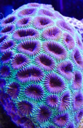Moon Coral
