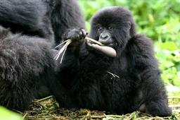 Gorillas in Volcanoes National Park, Rwanda. Photo by Cunliffe