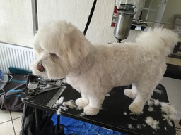 Theo (Cotton du Tulere) after styling
