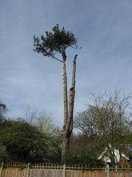 The sectional dismantle of a large pine tree