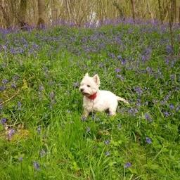 Bertie In The Bluebells