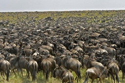 Wildebeest migration in  Serengeti ,Tanzania. Photo by Nomad