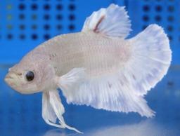 Male White Siamese Fighter