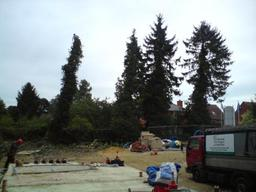 Felling ivy clad trees