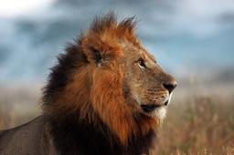Wildlife Lion Nakuru Kenya Shah Lr