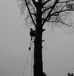 Tree Felling, Repton, Derbyshire