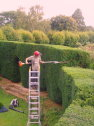 Trimming a large yew hedge