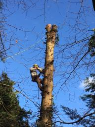 Large Conifer removal Chelmsford