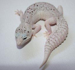 All Leopard Geckos Bred by Grinning Gecko