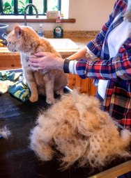 Shorthairs benefit from grooming too