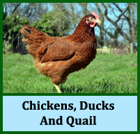 chickens for sale, ducks, quail, cockerel, poultry