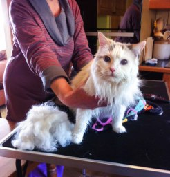 Jasmine all buffed up - Feline Divine Cat Grooming