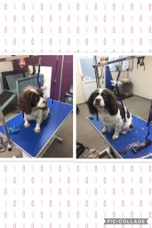 Ruby the gorgeous springer after her groom