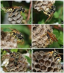 220px Wasp Colony 1