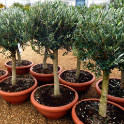 Buy Olive Trees Online