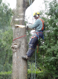 Tree During Dismantling
