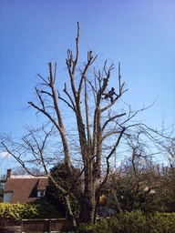 Tree surgery in Dulwich