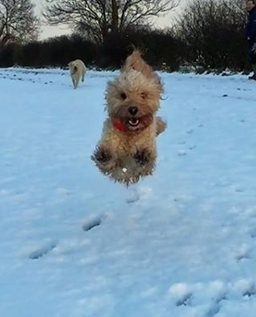 Bertie The Cockapoo Enjoying Flying Through The Snow