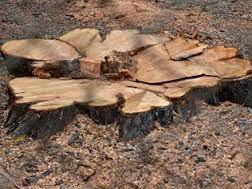 Tree Oaks1