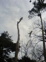 Section Felling a unstable Pine Tree