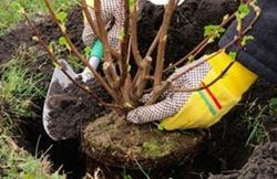 Planting A Shrub