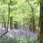 Bluebells At Symonds Yat Rock Lodge