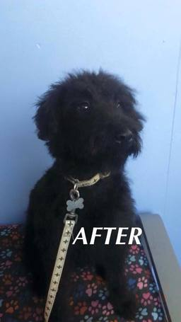 Small dog grooming - after
