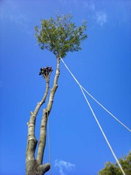 Tree surgery in Petts Wood