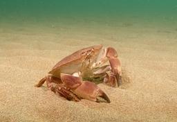 Edible Crab At Porthdafarch Beach