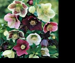 Helleborus plants for Autumn planting tgc