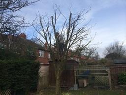 Pruning in Gosforth