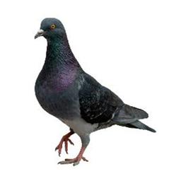 Feral Pigeon Control Glasgow