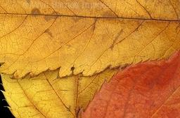 0063 Autumn Leaves