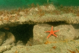 Bloody Henry Starfish On Wreck Of The Ss Hermoine