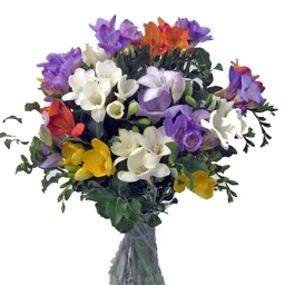 Scented Freesia Flowers £40.00 + £5.00 next day delivery