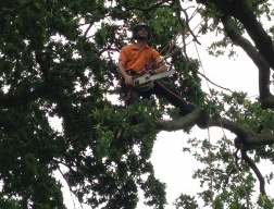 Crown cleaning of a Oak Kings Lynn and West Norfolk Council