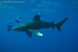 Diving With Oceanic White Tip Sharks Red Sea 2014