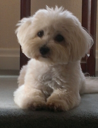 Dog Grooming Bexhill on Sea, coton de Tulear