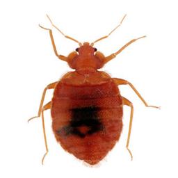 Bedbug Control Glasgow