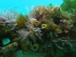 Feather Stars And Fluted Sea Squirts Holyhead Harbour