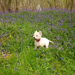 Bertie In The Bluebells