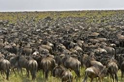 Wildebeest migration in  Serengeti ,Tanzania. Photo by Nomad