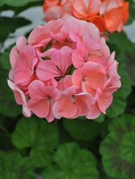 garden gardenia, pots & pithoi