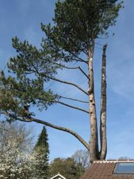 The sectional dismantle of a Corsican pine