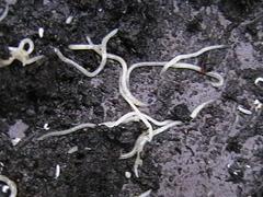 Whiteworms