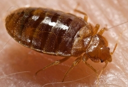 Bed Bug Lectularius, To book your Mattress Clean Call: 01392 202 779.